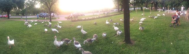 Panorámica de los patos del jardín