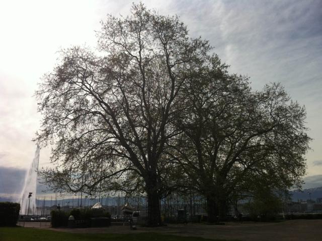 Árbol de Ginebra